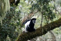 Black and white colobus monkey, Kilimanjaro Marangu route